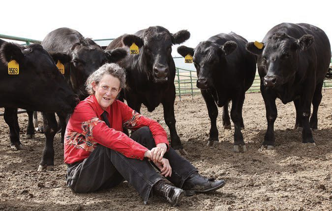 Grandin sitting on the ground with her arms resting on her knees, surrounded by black Angus steer