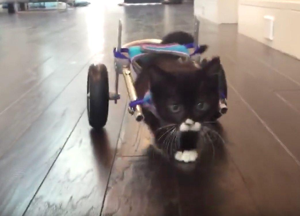 kitten using tiny back wheels to walk