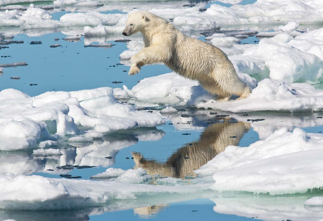 High Arctic of Spitsbergen Norway - Polar Bear and its reflection on the water as it dives across water surrounded by icy blocks in the wild